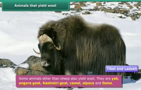 Fibre to fabric-Wool: Animals that yield wool